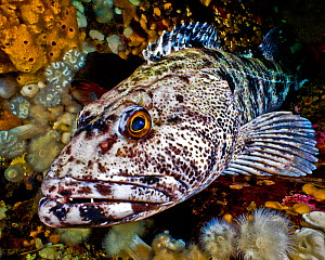 Lingcod (Ophiodon elongatus) portrait, Hunt Rock, Queen Charlotte Strait, British Columbia, Canada. September.  -  David Hall
