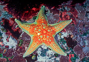 Leather star (Dermasterias imbricata), Browning Pass, Queen Charlotte Strait, British Columbia, Canada. April.  -  David Hall