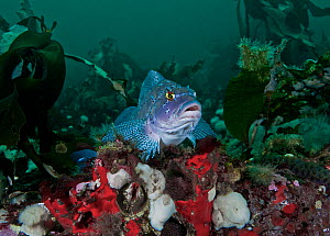 Kelp greenling (Hexagrammos decagrammus) male guarding at least three clusters of dark brown eggs, located just below where he is perched. Browning Pass, Queen Charlotte Strait, British Columbia, Cana...  -  David Hall