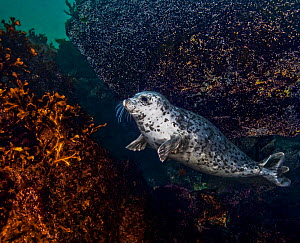 Harbor seal (Phoca vitulina) using a large,encrusted boulder as a tool to scratch itself against, Gowland Harbour, Quadra Island, British Columbia, Canada. March.  -  David Hall