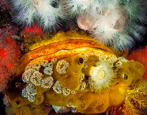 A Giant rock scallop (Crassadoma gigantea) encrusted with and surrounded by several other invertebrates, including White anemones (Metridium sp.), White mushroom ascidians (Distaplia sp.), Red soft co...  -  David Hall