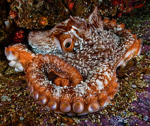 Giant Pacific octopus (Enteroctopus dofleini) emerging from its den, siphon open, Browning Pass, Queen Charlotte Strait, British Columbia, Canada. September.  -  David Hall