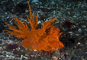 Giant dendronotid nudibranch (Dendronotus iris, left) latching on to its prey, a Tube-dwelling anemone (Pachycerianthus fimbriatus, right) which has withdrawn into its buried tube, pulling the nudibra...  -  David Hall