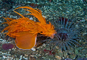 Giant dendronotid nudibranch (Dendronotus iris, left) lunging at its prey, a Tube-dwelling anemone (Pachycerianthus fimbriatus, right) which emerges from its tube at night, Staples Island, Queen Charl...  -  David Hall