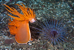 Giant dendronotid nudibranch (Dendronotus iris, left) rearing up, preparing to pounce on its prey, a Tube-dwelling anemone (Pachycerianthus fimbriatus, right) which emerges from its tube at night, Sta...  -  David Hall
