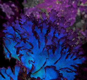 The blue-purple iridescence of this algal seaweed (Fauchea laciniata) is the result of light reflecting off of gland cells embedded in its surface layer. Barkley Sound, Vancouver Island, British Colum...  -  David Hall