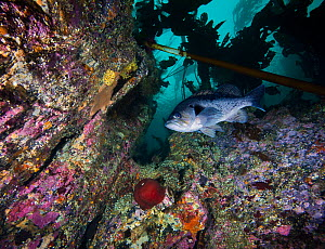 Black Rockfish (Sebastes melanops) with encrusted rock wall; North Wall, Browning Pass, British Columbia, Canada. October. Encrusting organisms seen include calcareous tubeworms, crustose coralline al...  -  David Hall