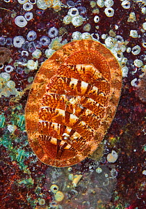 Chiton (Tripoplax trifida), Long Bay, Jedediah Island, British Columbia, Canada. February. Chitons are molluscs - their shells consist of a series of 8 overlapping plates.  -  David Hall