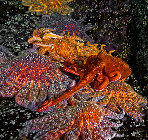 A young Giant Pacific Octopus (Enteroctopus dofleini) attempting to cross over and avoid touching a row of huge Sunflower sea stars (Pycnopodia helianthoides), Hanson's Island, British Colulmbia,...  -  David Hall