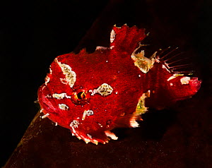 Pacific spiny lumpsucker (Eumicrotremus orbis), red form, which has fused ventral fins that form a suction disk, enabling it to attach itself to rocks and seaweed, Gambier Bay, Alaska, USA. August.  -  David Hall