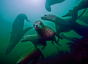 Steller sea lions (Eumetopias jubatus) playing underwater, Inian Island, Alaska, USA. August.  -  David Hall