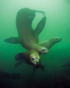 Steller sea lions (Eumetopias jubatus), three playing underwater, Inian Island, Alaska, USA. August.  -  David Hall