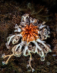 Northern Basket Star (Gorgonocephalus eucnemis), Gambier Bay, Alaska. August.  -  David Hall