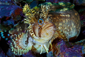 Decorated warbonnet (Chirolophis decoratus) portrait, Sitka, Alaska, USA. August.  -  David Hall