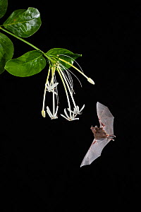Pallas's long-tongued Bat (Glossophaga soricina) feeding on Monkey guava (Posoqueria sp.) flower, lowland rainforest, Costa Rica. November.  -  Guy Edwardes