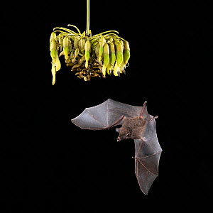 Pallas's long-tongued Bat (Glossophaga soricina) feeding on Ox-eye vine (Mucuna spp.), lowland rainforest, Costa Rica. November.  -  Guy Edwardes