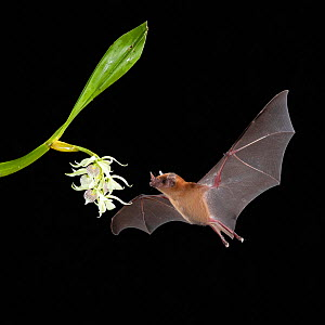 Orange nectar bat (Lonchophylla robusta) feeding on Little clamshell orchid (Prosthechea cochleata), lowland rainforest, Costa Rica. November.  -  Guy Edwardes