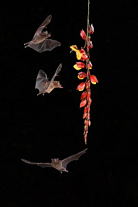 Pallas's long-tongued Bat (Glossophaga soricina) feeding on Clock vine (Thunbergia mysorensis), lowland rainforest, Costa Rica. November.  -  Guy Edwardes