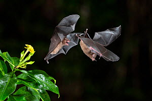 Pallas's long-tongued Bats (Glossophaga soricina) fighting over Yellow Allamanda (Allamanda cathartica) flower, lowland rainforest, Costa Rica. Noevmber.  -  Guy Edwardes