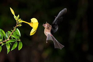 Orange Nectar Bat (Lonchophylla robusta) feeding on Yellow Allamanda (Allamanda cathartica) flower, lowland rainforest, Costa Rica. November.  -  Guy Edwardes