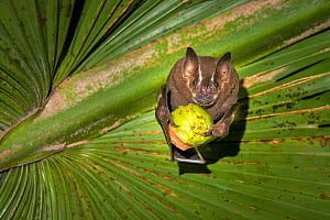 Brown tent-making bat (Uroderma magnirostrum) feeding on fruit under a palm leaf, lowland rainforest, Costa Rica. November.  -  Guy Edwardes