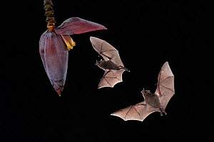 Pallas's long-tongued bats (Glossophaga soricina) feeding from banana flower, lowland rainforest, Costa Rica. November.  -  Guy Edwardes