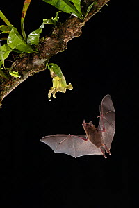 Pallas's long-tongued Bat (Glossophaga soricina) feeding from Calabash gourd flower (Crescentia cujete) , lowland rainforest, Costa Rica. November.  -  Guy Edwardes
