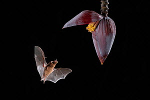Orange Nectar Bat (Lonchophylla robusta) feeding from banana flower, lowland rainforest, Costa Rica. November.  -  Guy Edwardes