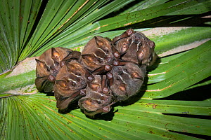 Brown tent-making bats (Uroderma magnirostrum) roosting under a palm leaf, lowland rainforest, Costa Rica. November.  -  Guy Edwardes