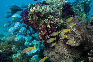 Surgeonfish (Acanthuridae) shelter below a coral outcropping in Raja Ampat, West Papua, Indonesia. Pacific Ocean.  -  Nick Hawkins
