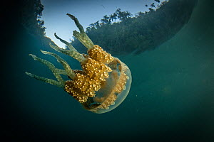 Spotted jelly (Mastigias papua) swims in sheltered cove in Raja Ampat, West Papua, Indonesia. Pacific Ocean.  -  Nick Hawkins