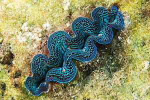 Crocus giant clam (Tridacna crocea) in Raja Ampat, West Papua, Indonesia. Pacific Ocean.  -  Nick Hawkins