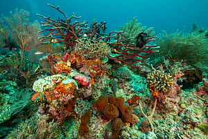 Healthy coral reef thriving in the shallow waters of Raja Ampat, West Papua, Indonesia.  -  Nick Hawkins