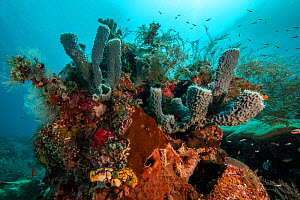 Vase sponges and healthy coral reef thriving in the shallow waters of Raja Ampat, West Papua, Indonesia.  -  Nick Hawkins