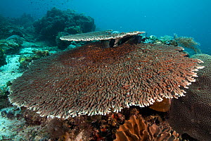 Acropora table corals (Acropora sp.) thriving in the shallow waters of Raja Ampat, West Papua, Indonesia.  -  Nick Hawkins