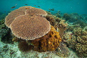 Acropora table coral (Acropora sp.) and soft coral thrive in the shallow waters of Raja Ampat, West Papua, Indonesia.  -  Nick Hawkins