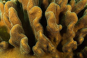 Close up of a leather coral (Sarcophyton sp.) in the shallow waters of Raja Ampat, West Papua, Indonesia.  -  Nick Hawkins