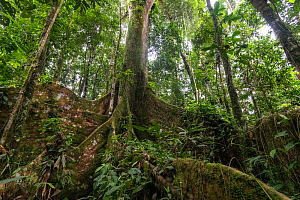 Giant rainforest tree growing at the Tiputini Biodiversity Station, Amazon Rainforest, Ecuador.  -  Nick Hawkins