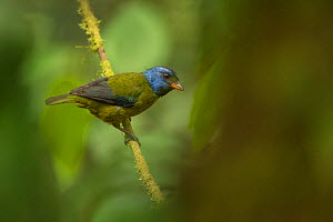 Moss-backed tanager (Bangsia edwardsi) in Choco region, Northwestern Ecuador.  -  Nick Hawkins
