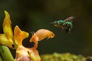 Orchid bee (Euglossa sp.) visits an orchid in cloud forest, Choco region, Northwestern Ecuador.  -  Nick Hawkins