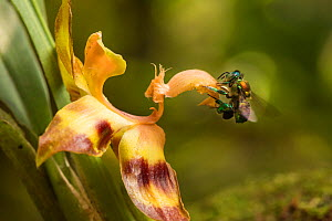 Orchid bee (Euglossa sp.) visiting an orchid in cloud forest, Choco region, Northwestern Ecuador.  -  Nick Hawkins