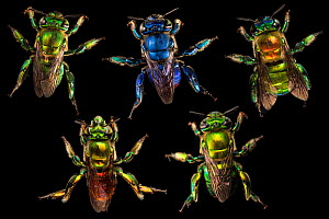Compsite of orchid bees (Euglossa sp.) photographed on black in cloud forest, Choco region, Northwestern Ecuador.  -  Nick Hawkins
