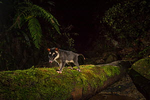 Brown four eyed opossum (Metachirus nudicauda) at night in cloud forest, Choco region, Northwestern Ecuador. Camera trap image.  -  Nick Hawkins