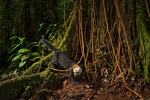 Tarya (Eira barbara) in cloud forest, Choco region, Northwestern Ecuador. Camera trap image.  -  Nick Hawkins