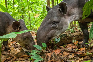 Baird's tapir female (Tapirus bairdii) with calf, rainforest, Corcovado National Park, Costa Rica. Endangered.  -  Nick Hawkins
