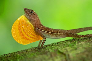 Anolis lizard (Anolis sp.) male displaying in Corcovado National Park, Costa Rica.  -  Nick Hawkins