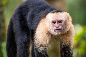White-faced capuchin monkey (Cebus capucinus) in Tenorio Volcano National Park, Costa Rica  -  Nick Hawkins