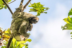 Brown-throated three-toed sloth (Bradypus variegatus) mother and baby, Tenorio Volcano National Park, Costa Rica.  -  Nick Hawkins