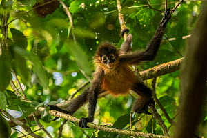 Central American spider monkey (Ateles geoffroyi) juvenile, Corcovado National Park, Costa Rica. January.  -  Nick Hawkins