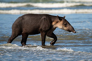 Baird's tapir (Tapirus bairdii) walking along a beach in Corcovado National Park, Costa Rica. Endangered.  -  Nick Hawkins